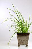 Grass In A Pot