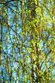 Blossoming Branches Of A Birch In The Spring