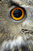 image of owl eyes  - Eye of Eurasian Eagle Owl, face profile