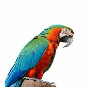 picture of harlequin  - Colorful Harlequin Macaw aviary isolated on a white background - JPG