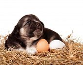 Cute puppy in nest with eggs on a white background