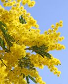 Beautiful Yellow Mimosa