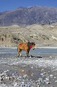 Wild Horse On The Mountain River Bank In Nepal.
