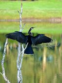 Female Anhinga Drying Wings