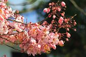 Wishing tree, pink shower, cassia bakeriana craib flower