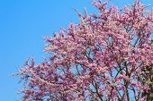 Lagerstroemia floribunda, Thai crape myrtle or kedah bungor