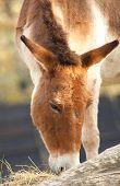Kiang Horse