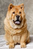 A Chow dog is sitting down