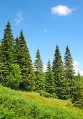 Beautiful pine trees in mountains.