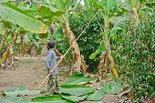 Worker Is Cutting Banana Leaves