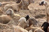 Sheep with Crow