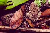 pic of pacman frog  - frog sitting in dead leaves top view - JPG