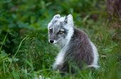 picture of arctic fox  - An arctic fox is in the middle of white winter coat moltling into black - JPG