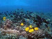 Hawaiian Reef With Orangeband Surgeonfish And Yellow Tang