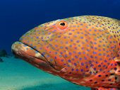 picture of grouper  - Grouper fish - JPG