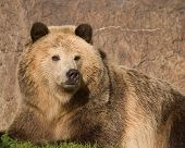 Grizzly Bear In Repose
