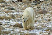 Polar Bear In Arctic