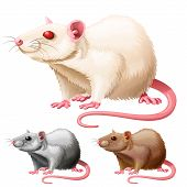 image of rats  - vector illustration of three lab rats on white background - JPG
