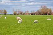 Sheep And Lambs On Green Pasture