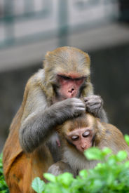 stock photo of crappie  - A macaque monkey delousing his baby in Swayambhunath Nepal - JPG