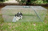 foto of trap  - Cat trapped in a humane non lethal animal trap - JPG
