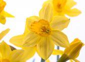 Closeup Yellow Daffodil