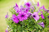 stock photo of petunia  - Violet Petunia or Petunia Hybrida Vilm in the garden or nature park - JPG