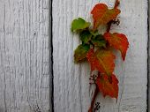 Vine on a wooden wall