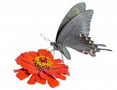 Butterfly (papilio Maackii)