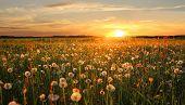 Dandelion Hayfield At Sunset