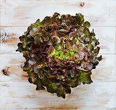 Oak Leaf Lettuce.