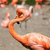 pic of pink flamingos  - The pink Caribbean flamingo  - JPG