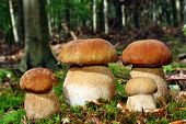 pic of edible mushroom  - Group of four edible boletus mushroom in the forest - JPG