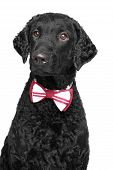 Black Curly Coated Retriever In Bow Tie