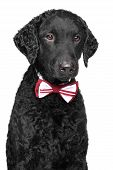 Curly Coated Retriever In Bow Tie