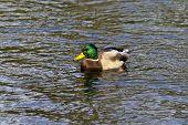 Wild Duck On The Pond
