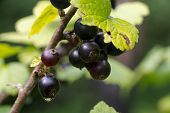Berries Of A Black Currant On Branch