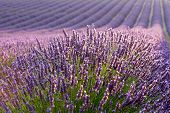 stock photo of lavender field  - part of lavender field during sunrise - JPG