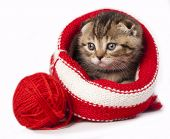 Scottish young kitten playing red clew or ball