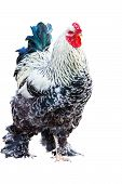 Scenic Rooster On A White Background