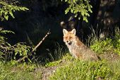 red fox in the forest, Vosges, France