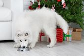 Samoyed dog with metal bowl in room with Christmas tree and white sofa on background