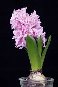 picture of hydroponics  - Hydroponic hyacinth blossom put - JPG