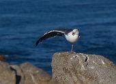 Seagull performing yoga exercises