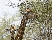 portrait a wild giraffes in the bush, Kruger, South Africa