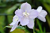 Close Up Of Pale Blue Delphinium (elatum) Flowers