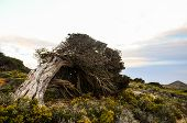 Gnarled Juniper Tree Shaped By The Wind