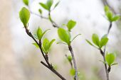 Young Leaves And White Flowers. Spring. (soft Focus).