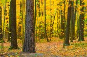 Dense Deciduous Forest In Autumn Day
