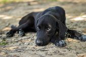 pic of paws  - A black Labrador Retriever puppy laying with its head on paws looking upward with puppy dog eyes.